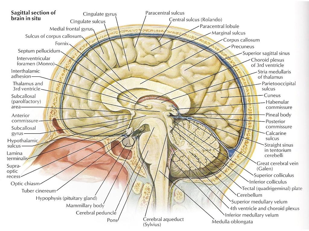 Особенности строения черепа человеческого тела
